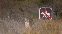 Bobcat Kitten Glancing Left, Right And Overhead, Sitting Next To No Horseback Riding Sign
