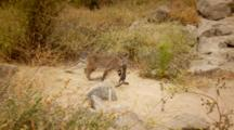Bobcat Adult Returning With Squirrel In Mouth, Looks Directly To Lens