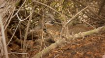 Bobcat Family Grooming And Resting Under Tree