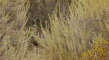 Bobcat Sleeping Behind Brush, Wide Shot, Cat Nap