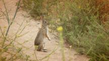 Desert Cottontail Rabbbit Standing, Sniffing Area, Hops Away
