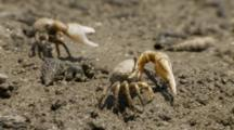 California Fiddler Crab, Male Waving Large Claw, Mating Display