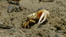 California Fiddler Crab Waves Large Claw Next To Burrow, Mating Display