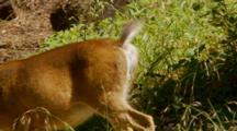 Black Tailed Deer Wiggles Her Tail To Get Rid Of Flies, Wiggles Ears