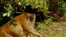 Black Tail Deer Feeding, Tail Swats Away Biting Flies