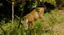 Black Tail Deer Feeding, Tail Swats Away Biting Flies, Deer Walks Out Of Frame