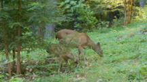 Black Tail Deer Mother Brings Spotted Fawn Out To Eat