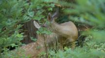 Black Tail Deer Mother Grooms Fawn
