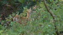 Black Tail Deer Fawn Feeds By Itself