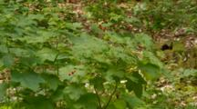 Rasberry Growing Wild In Redwood Forest
