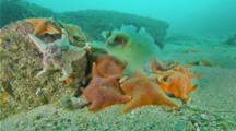 Bat Star Feed On Dead Jellyfish, Pacific Sea Nettle Jellyfish