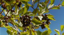 Huckleberry Fruit On Tree