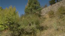 Black Bear Feeding In Huckleberry Bush, Shakes Tree