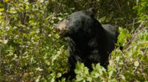 Black Bear Feeding In Huckleberry Bush, Active Munching