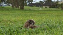 Albatross Chick Patiently Waits, Preens, Golf Course Nesting Site