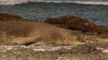 Monk Seal Beach, Tidepools, Monkseal Sleeping On Rock, Close Up