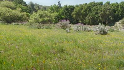 California poppy field,ultra wide open field,grape sode lupine bush in background