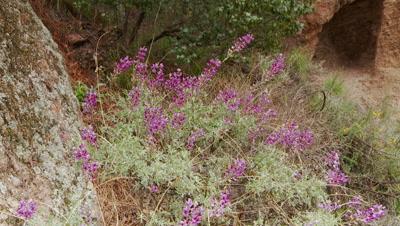 Wildfower,Pan Across silver bush lupine,a purple flower,see entire plant