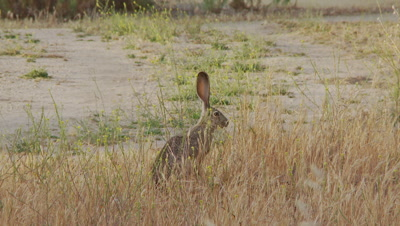Long Eared Jack Rabbit Feeds,sits up straight