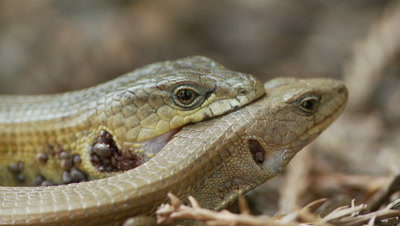 alligator lizard with ticks on neck,grips female while mating