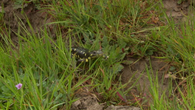 California Tiger Salamander emerges from hole and walks