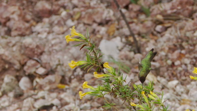 Hummingbird collects nectar from sticky monkey flower