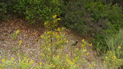 Hummingbird collects nectar from sticky monkey flower,moves fast