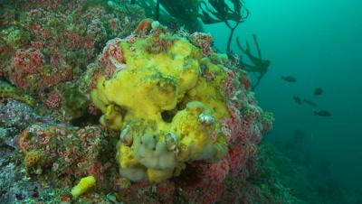 Chestnut cowries on bright yellow sponge
