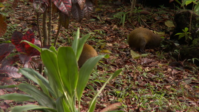 Agouti,Central American forest mammal