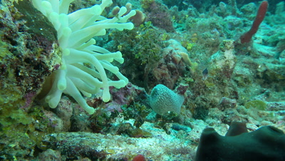 Arrow crab finds shelter under anemone,giant anemone,green tips