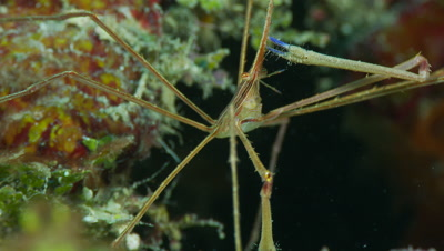 Arrow crab brings food to its mouth