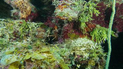 Arrow crab wide shot