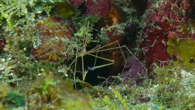 Arrow crab feeding from detritus on its legs
