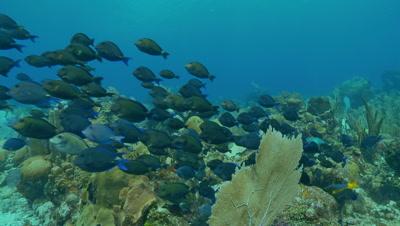 Tangs swim over reef,feeding,blue tangs