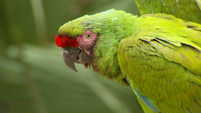 Macaws,military macaw pair on perch,threatened species