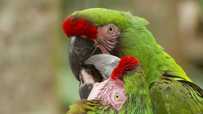 Macaws,military macaw pair on perch,turn and touch beaks,threatened species