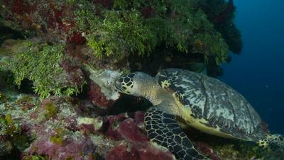 Hawsbill turtle feeding on sponge with angelfish,critically endangered