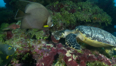 Hawksbill turtle feeds on sponge surrounded by hungry fish,critically endangered