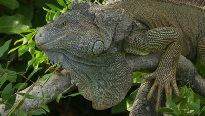 Iguana,green iguana in tree,pan from head to front claws