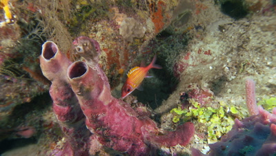 Sponges,branching tube sponges,squirrel fish,soft corals,beautiful underwater scenic