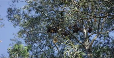 Monarch butterflies in clusters between eucalyptus trees