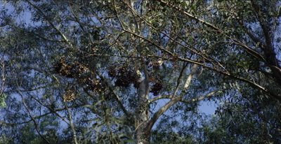 Monarch butterflies, thousands flying, landing in tight clusters