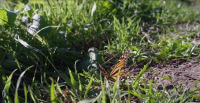 Monarch butterfly on ground opens its wings, catches the sun