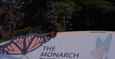 Monarch butterfly rests on park sign, opens wings
