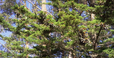 Monarch butterflies resting and flying, thousands of insect, great light