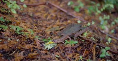 California giant salamander eats banana slug