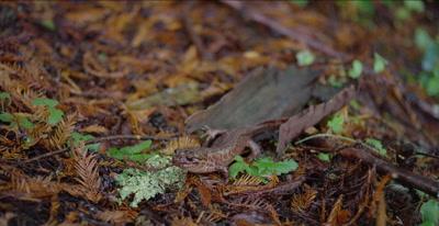 California giant salamander just after eating banana slug