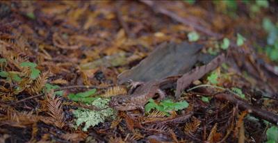 California giant salamander just after eating banana slug, jiggles head
