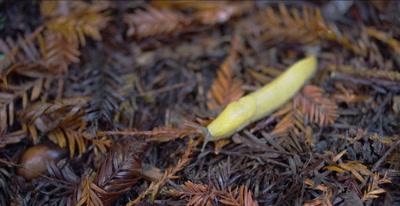 Banana slug, prey of California giant salamander