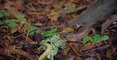 California giant salamander watches banana slug go past